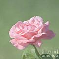 Pink Rose by Kim Hojnacki