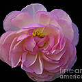 Pink Rose On Black by Ursula Lawrence