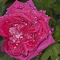 Pink Rose Wendy Cussons With Raindrops by Steve Purnell