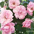 Pink Roses by Douglas Cloud