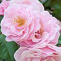 Pink Roses II by Regina Geoghan
