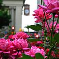 Pink Roses In The City by Mamie Thornbrue