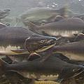 Pink Salmon Oncorhynchus Gorbuscha by Matthias Breiter