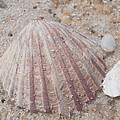 Pink Scallop Shell by Kimberly Perry