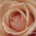 Pink Sensual Rose by Deborah Benoit