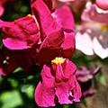Pink Snap by Susan Herber