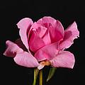 Pink Tea Rose by Gary Dean Mercer Clark