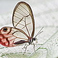 Pink-tipped Clearwing Satyr Cithaerias by James Christensen