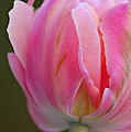 Pink Tulip by Donna Bentley