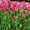 Pink Tulip Flowers by Mats Silvan
