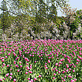 Pink Tulips And Blossom 1 by Robert Shard