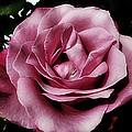 Pink Velour by Kevin D Davis