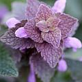Pink Velvet by Lisa Phillips