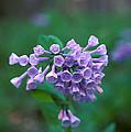 Pink Virginia Bluebells 1c by Gerry Gantt