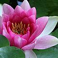 Pink Water Lily by Daniel Reed