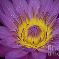 Pink Water Lily by Diego Re