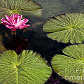 Pink Water Lily I by Heiko Koehrer-Wagner