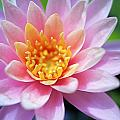 Pink Water Lily by Kicka Witte
