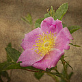 Pink Wild Rose by Dale Kincaid
