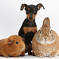 Pinscher Puppy With Rabbit And Guinea by Mark Taylor
