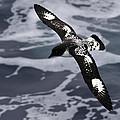 Pintado Petrel - Ancient Mariner by Tony Beck