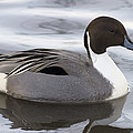 Pintail by Denise Swanson