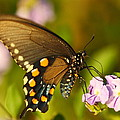 Pipevine Swallowtail Butterfly by Andrew McInnes