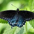 Pipevine Swallowtail by Carol Groenen