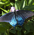 Pipevine Swallowtail Din003 by Gerry Gantt
