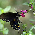Pipevine Swallowtail  by Saija  Lehtonen