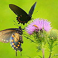 Pipevine Swallowtails In Tandem by Laurel Talabere