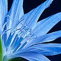 Pistil's Of Chicory by Randall Branham