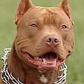 Pitbull Red Nose Dog Portrait by Waldek Dabrowski