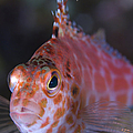 Pixy Hawkfish, Kimbe Bay, Papua New by Steve Jones