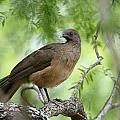Plain Chachalaca  by Doug Lloyd