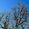 Plane Tree In Autumn by Louise Heusinkveld