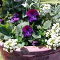 Planter Of Purple Pansies And White Alyssum by Elaine Plesser
