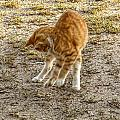 Playful Yellow Kitty by Debbie Portwood