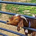 Please Exonerate Me - Billy Goat by Madeline Ellis