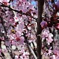 Plum Blossoms 6 by Kume Bryant