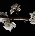 Plum Tree Spring Blossum by Nancy Griswold