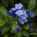 Plumbago by Sean Griffin