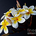 Plumeria Bouquet by Kaye Menner