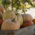 Plump And Purdy Pumpkins by Kathy Clark
