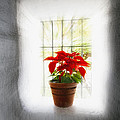 Poinsettia In Window Light by George Oze