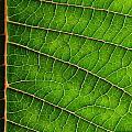 Poinsettia Leaf IIi by JD Grimes