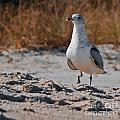 Poised Seagull by Scott Hervieux
