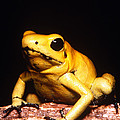 Poison Dart Frog by Dante Fenolio
