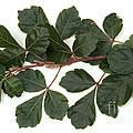 Poison Oak Branch by Ted Kinsman