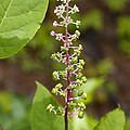 Poke Sallet Blossom Spire - Phytolacca Acinosa  by Kathy Clark